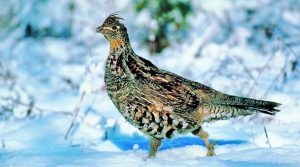 Grouse Hunting Wisconsin - Snow