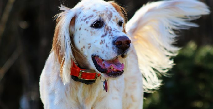 English Setter - A Great Bird Dog & Friend